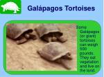 gal pagos tortoises