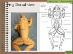 frog dorsal view