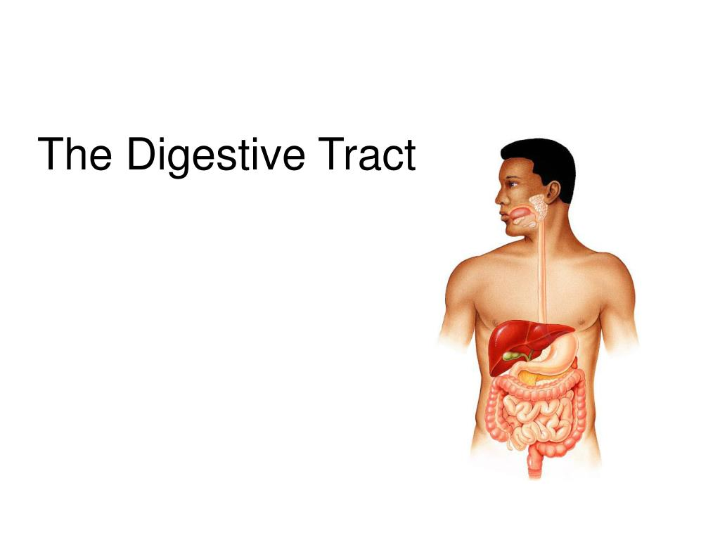 the digestive tract l.