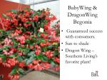 babywing dragonwing begonia