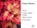 coleus henna