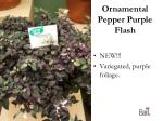 ornamental pepper purple flash