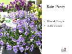 rain pansy