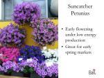 suncatcher petunias