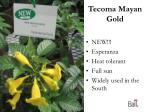 tecoma mayan gold