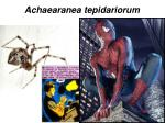 achaearanea tepidariorum