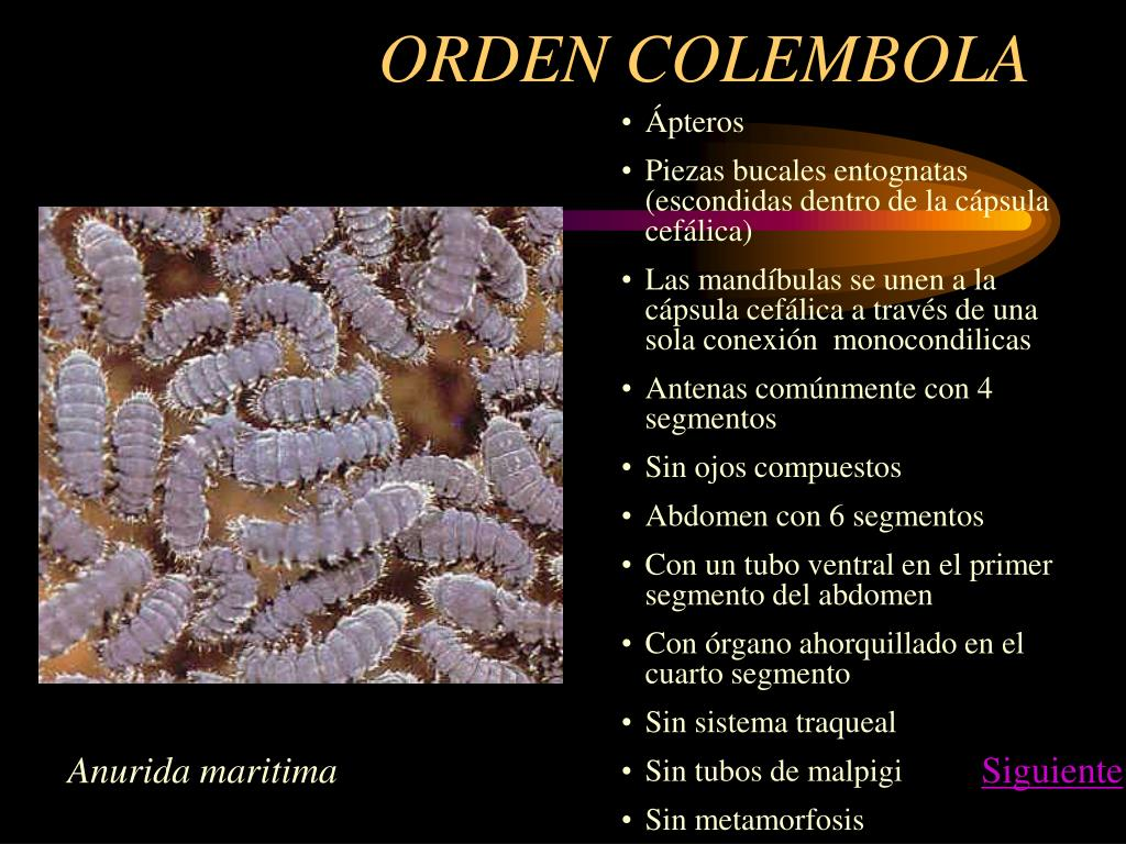 ORDEN COLEMBOLA
