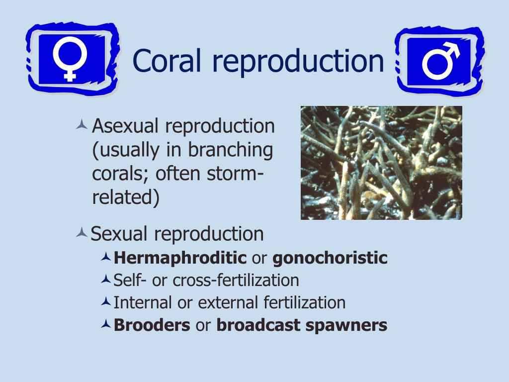 Coral reproduction