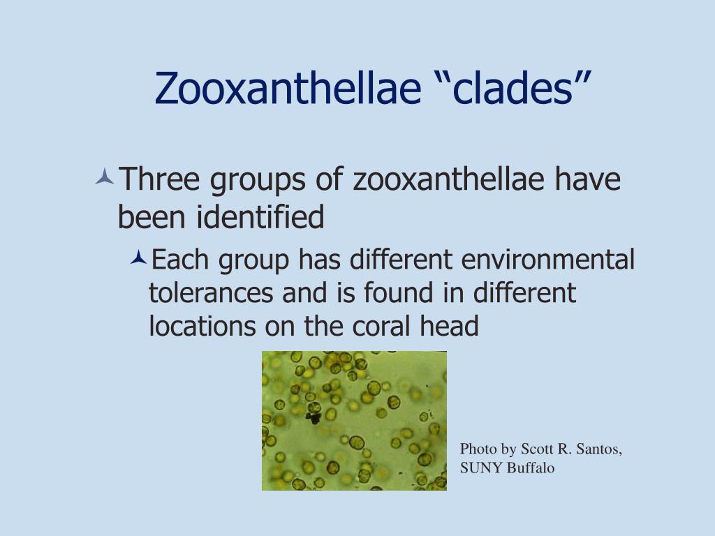 """Zooxanthellae """"clades"""""""