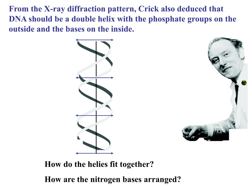 From the X-ray diffraction pattern, Crick also deduced that DNA should be a double helix with the phosphate groups on the outside and the bases on the inside.