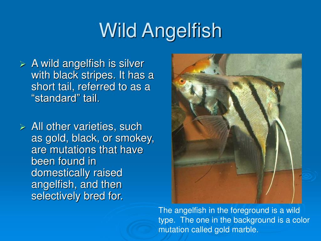 Wild Angelfish