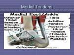 medial tendons