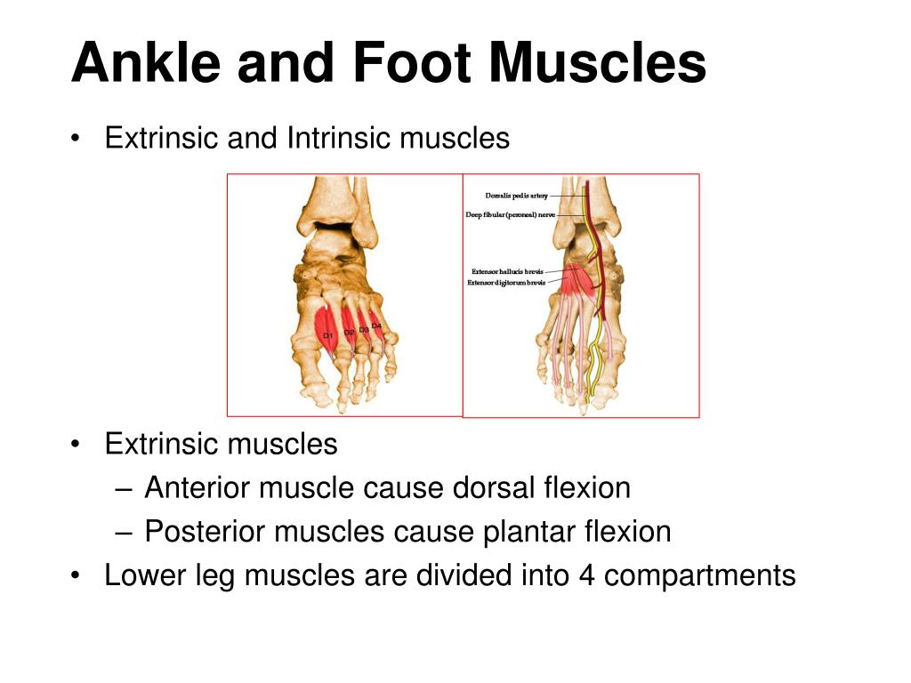 Ankle and Foot Muscles