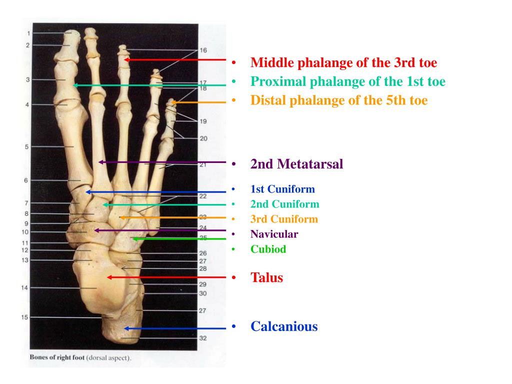 Middle phalange of the 3rd toe