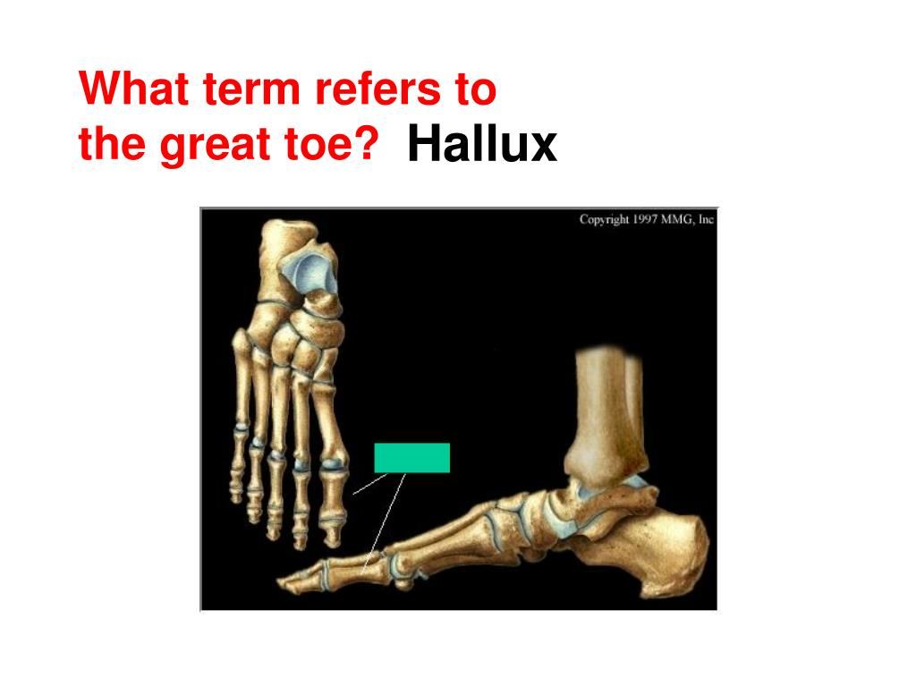 What term refers to the great toe?
