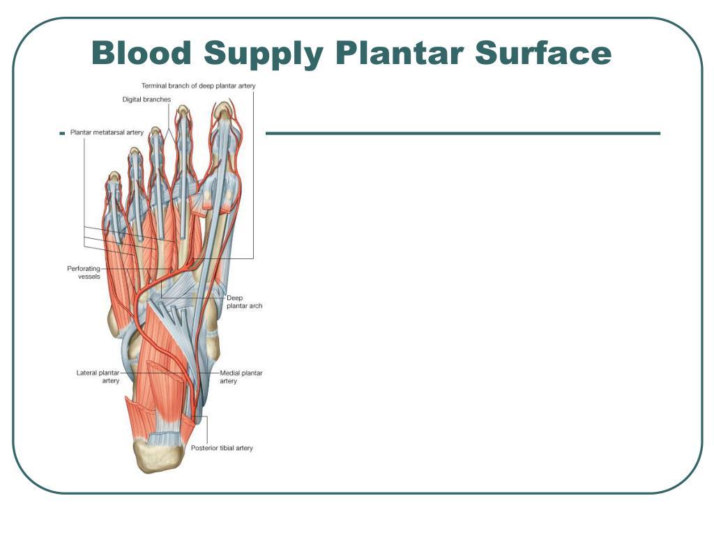 Blood Supply Plantar Surface