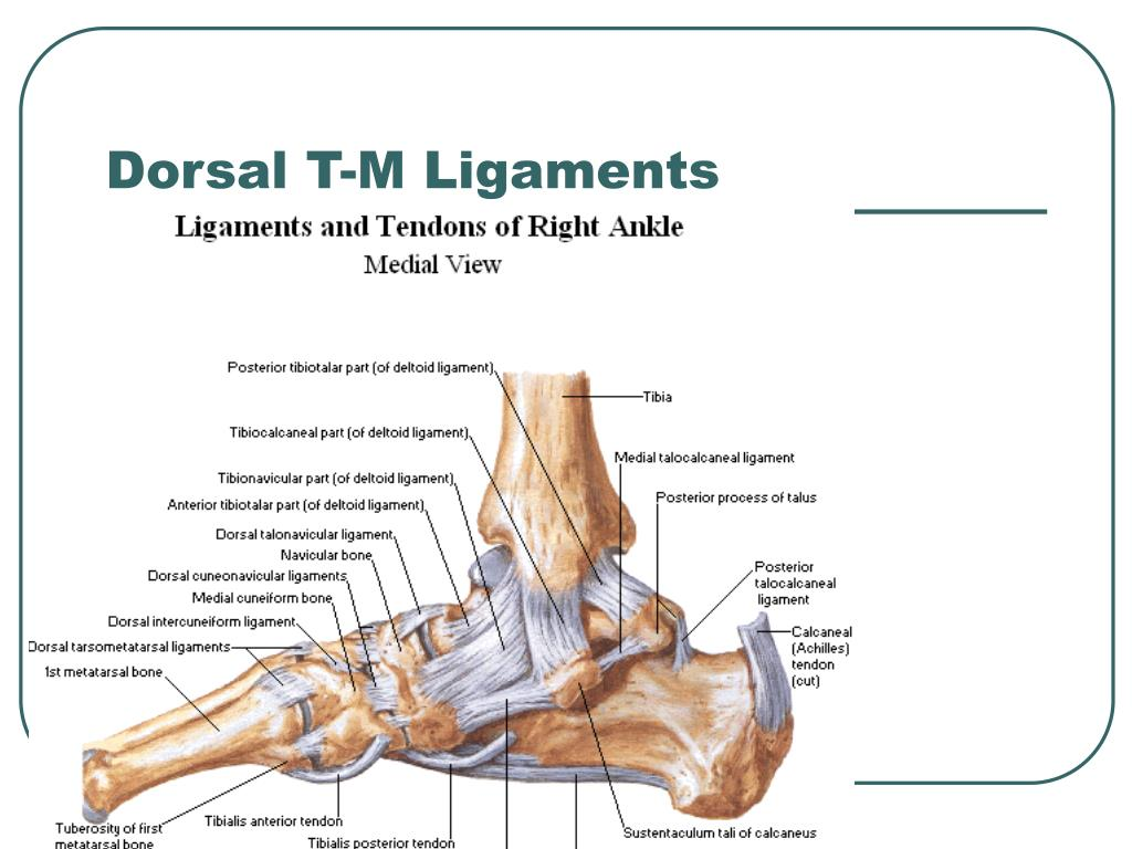 Dorsal T-M Ligaments
