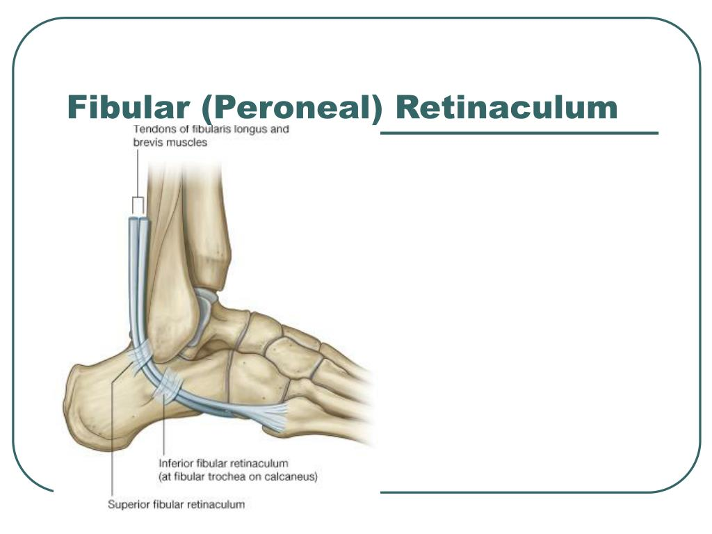 Fibular (Peroneal) Retinaculum
