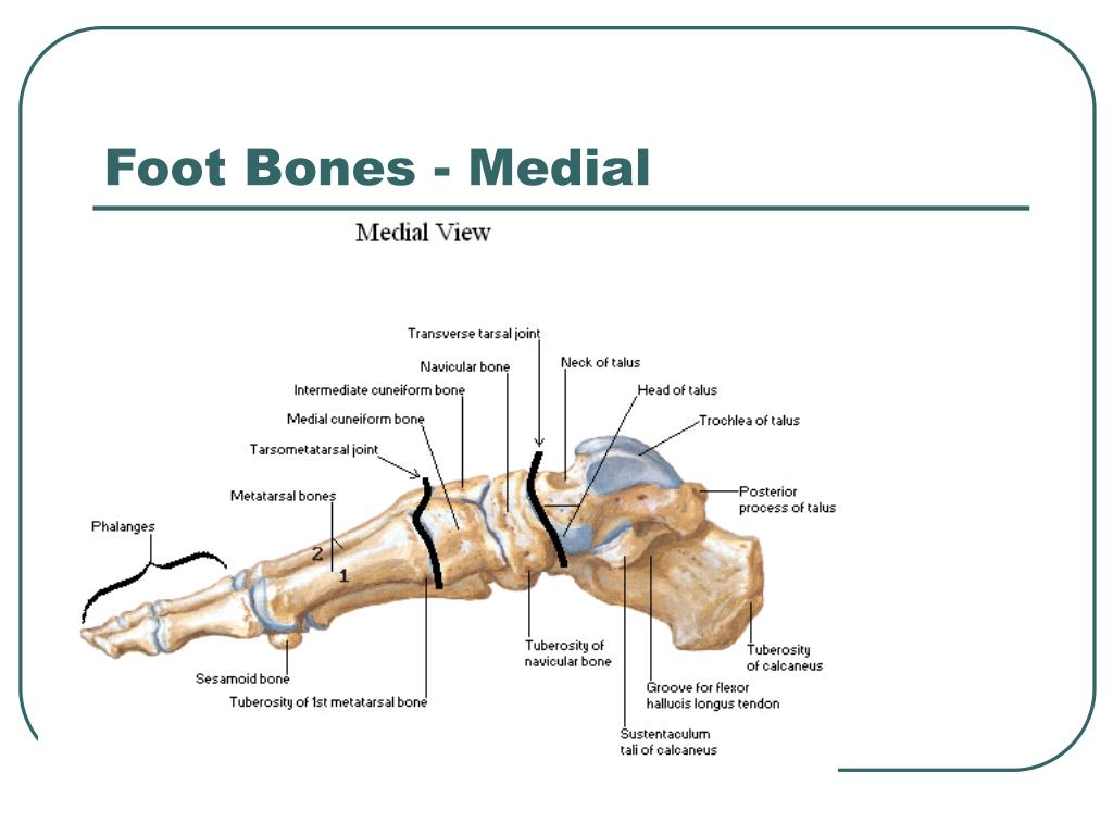 Foot Bones - Medial
