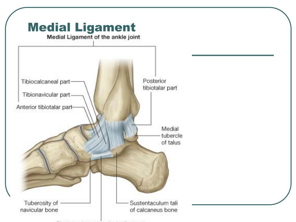 Medial Ligament
