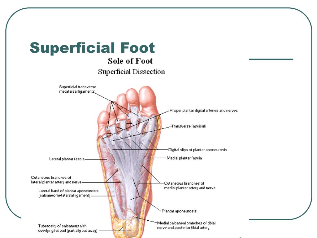 Superficial Foot
