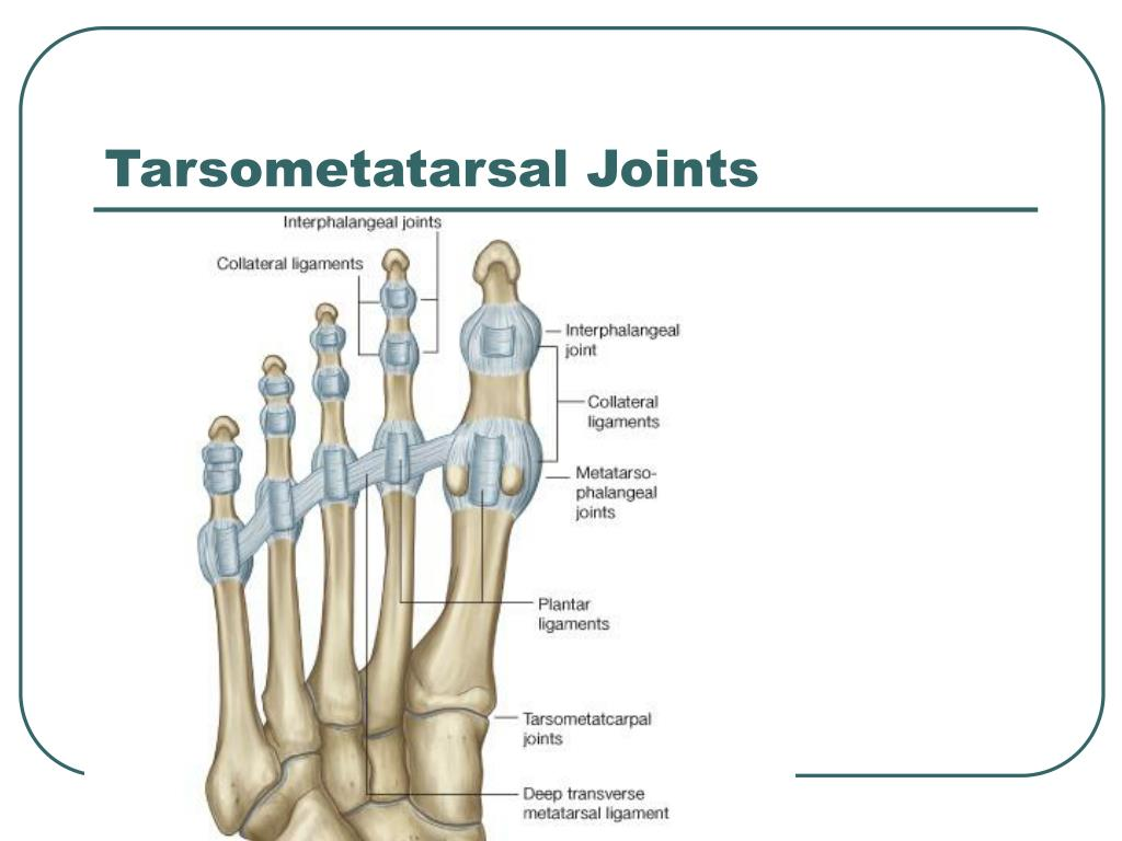 Tarsometatarsal Joints