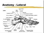 anatomy lateral