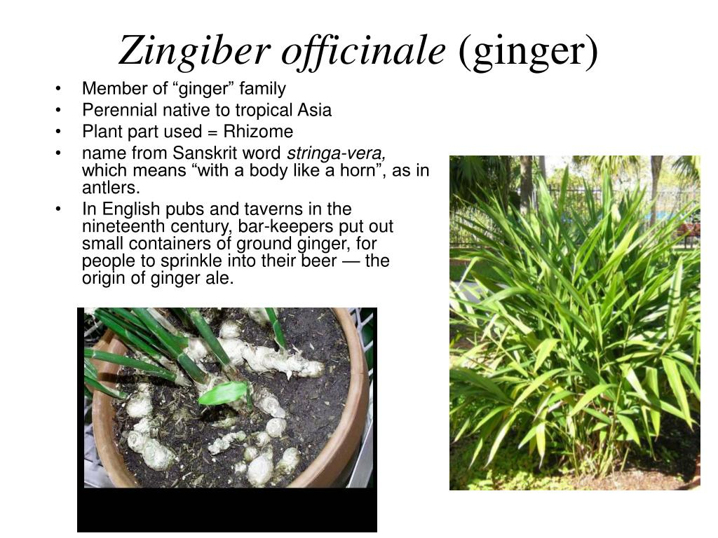 Zingiber officinale