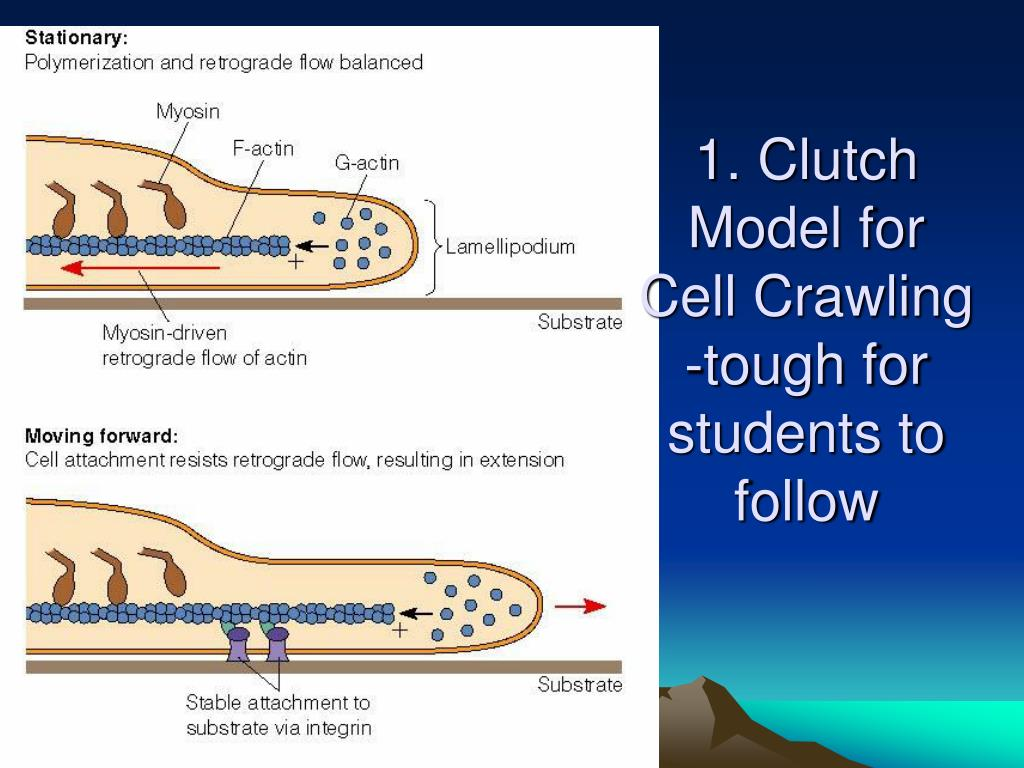 1. Clutch Model for Cell Crawling