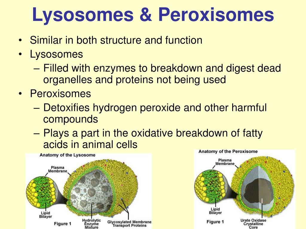 Lysosomes & Peroxisomes