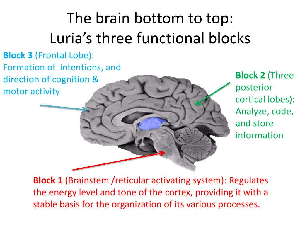 The brain bottom to top: