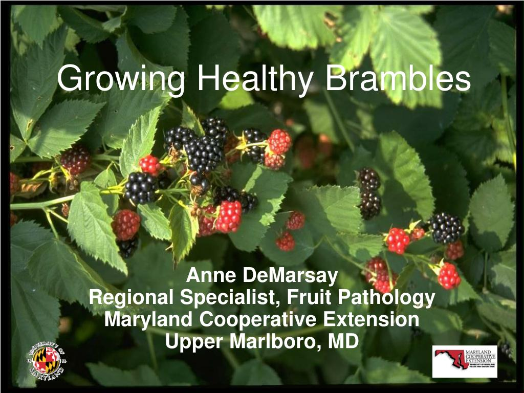 growing healthy brambles l.