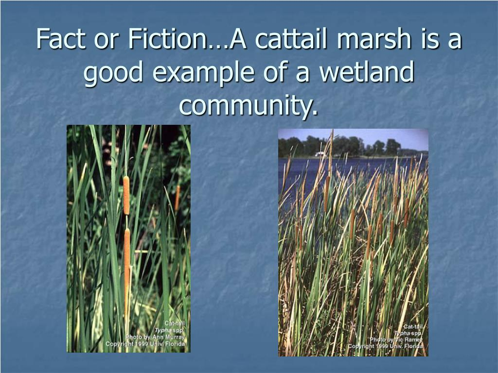 Fact or Fiction…A cattail marsh is a good example of a wetland community.
