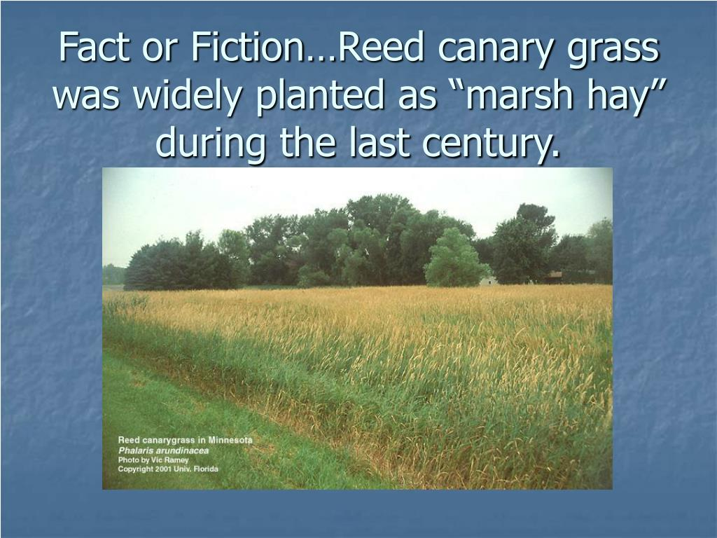 "Fact or Fiction…Reed canary grass was widely planted as ""marsh hay"" during the last century."