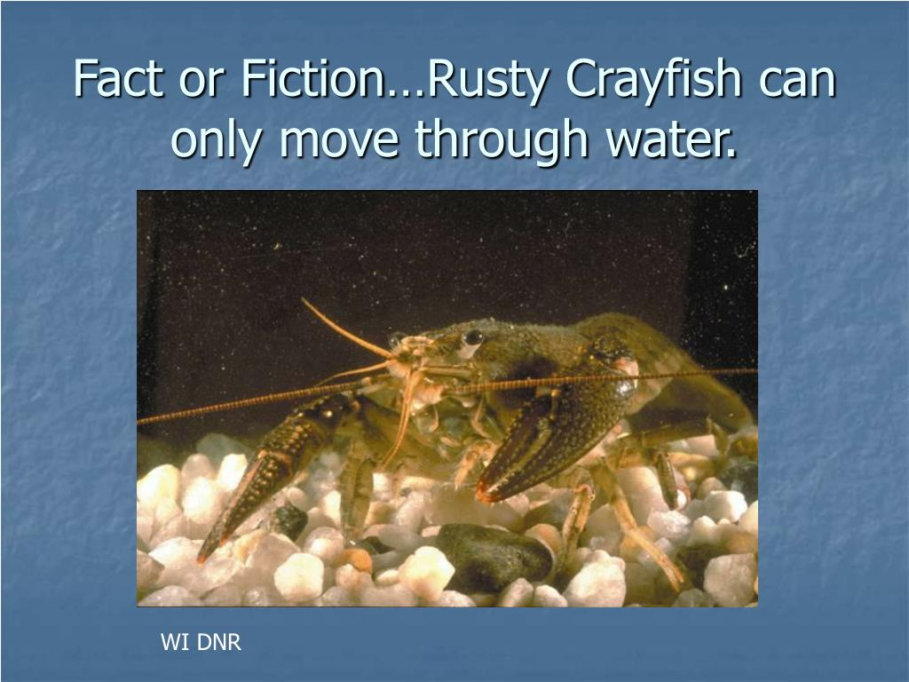 Fact or Fiction…Rusty Crayfish can only move through water.