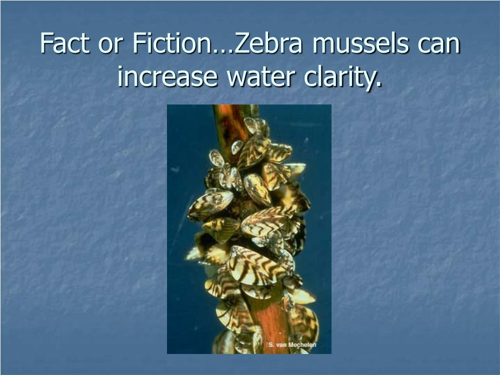 Fact or Fiction…Zebra mussels can increase water clarity.
