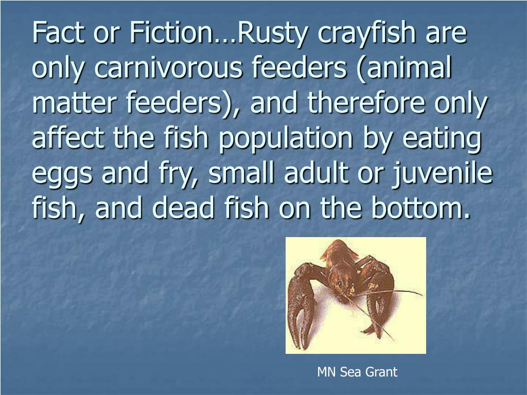 Fact or Fiction…Rusty crayfish are only carnivorous feeders (animal matter feeders), and therefore only affect the fish population by eating eggs and fry, small adult or juvenile fish, and dead fish on the bottom.