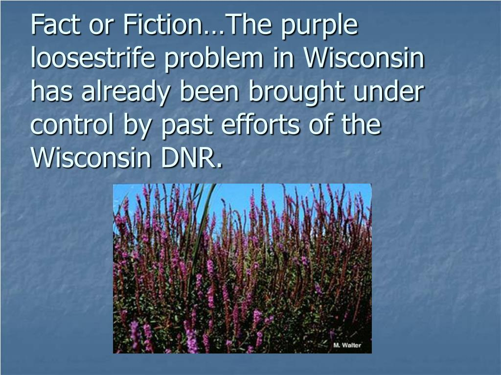 Fact or Fiction…The purple loosestrife problem in Wisconsin has already been brought under control by past efforts of the Wisconsin DNR.