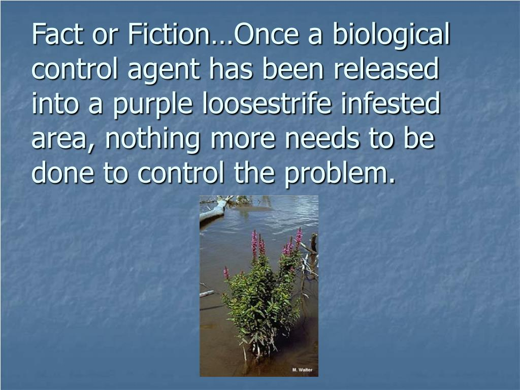 Fact or Fiction…Once a biological control agent has been released into a purple loosestrife infested area, nothing more needs to be done to control the problem.