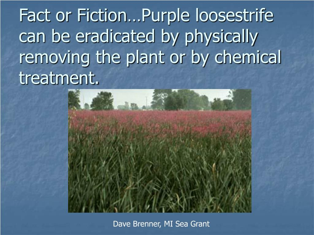 Fact or Fiction…Purple loosestrife can be eradicated by physically removing the plant or by chemical treatment.