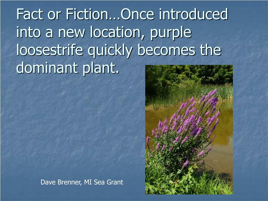 Fact or Fiction…Once introduced into a new location, purple loosestrife quickly becomes the dominant plant.