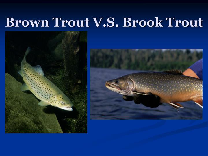 brown trout v s brook trout n.