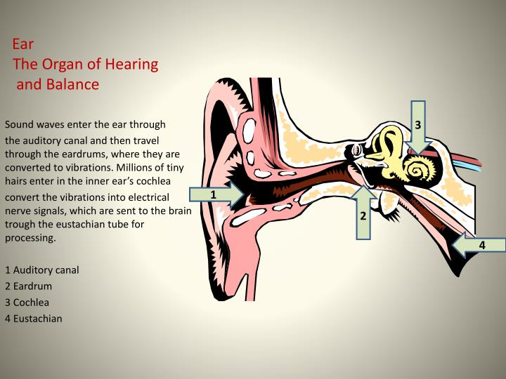 ear the organ of hearing and balance n.