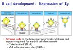 b cell development expression of ig
