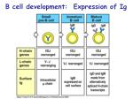 b cell development expression of ig11