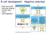 b cell development negative selection16