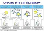 overview of b cell development