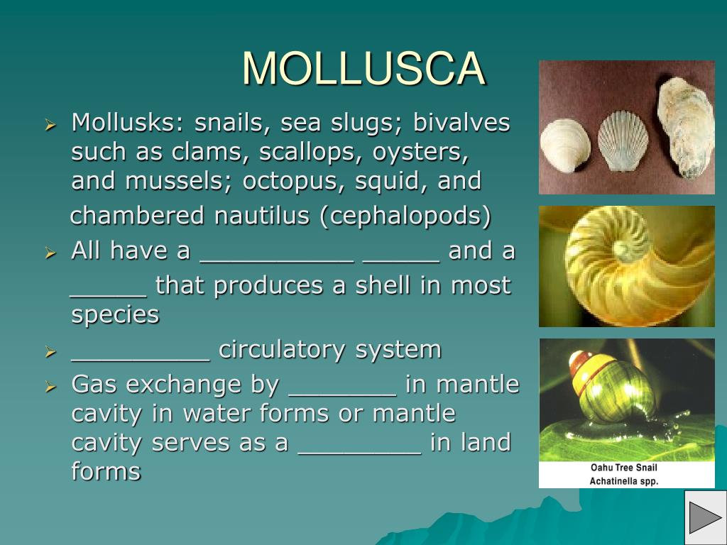 Mollusks: snails, sea slugs; bivalves such as clams, scallops, oysters, and mussels; octopus, squid, and