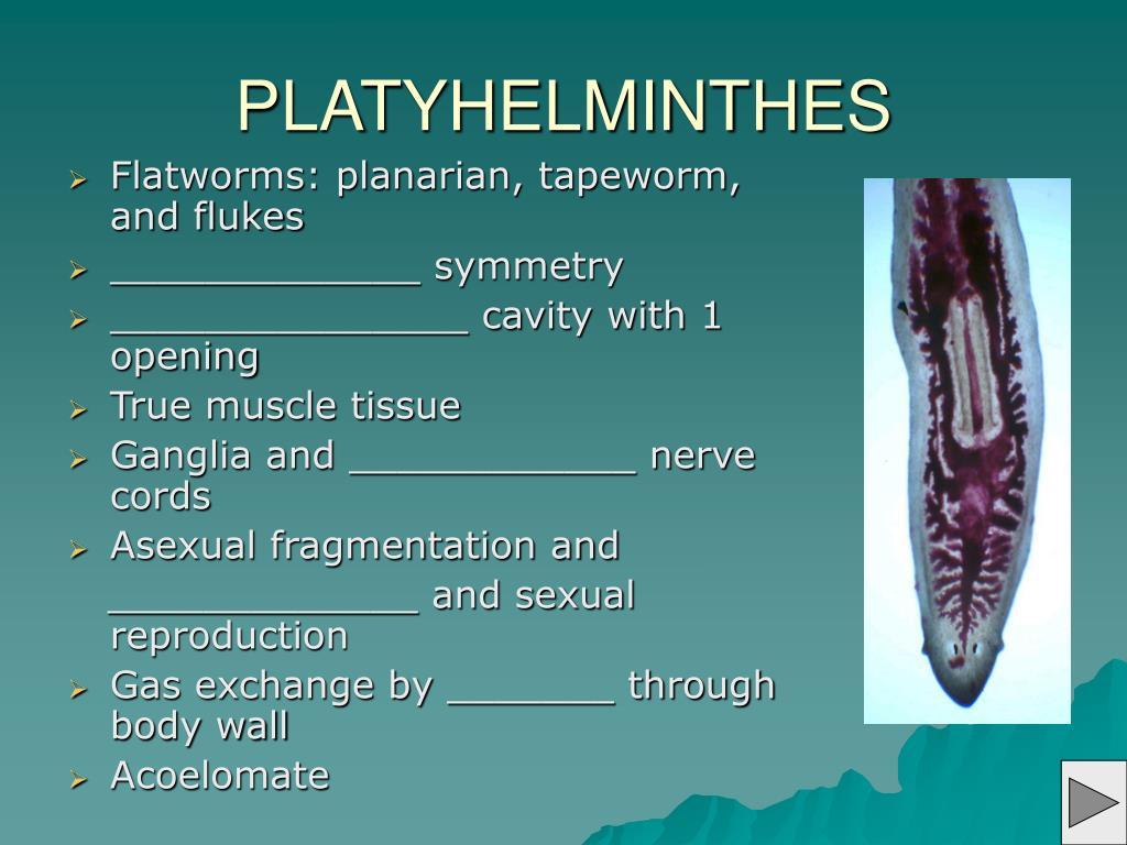 PLATYHELMINTHES