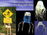 chironex fleckeri the box jelly fish